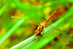 Dragonfly on the green grass summer Royalty Free Stock Images