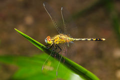 Dragonfly on green leaf Stock Photography