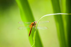 Dragonfly on green leaf Royalty Free Stock Image