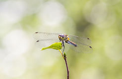 Dragonfly on a green leaf Royalty Free Stock Photography
