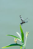 Dragonfly on Green Leaf Stock Images