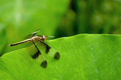 Dragonfly on a green leaf Royalty Free Stock Images