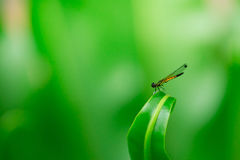 Dragonfly on a green leaf Stock Photos