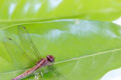 Dragonfly on the green leaf and on the white background. it is a fast flying long bodied predator insect. Dragonfly on the green leaf and on the white Stock Photography