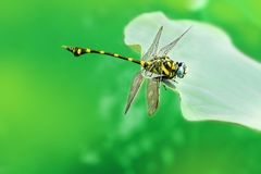 Dragonfly on green leaves. Stock Photography