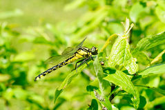 Dragonfly on the green leaves background Stock Photo