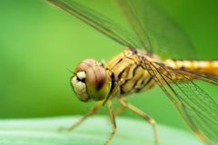 Dragonfly on green leaves royalty free stock image