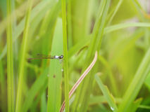 The Dragonfly on green leaves. Stock Photos