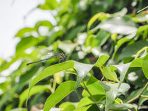 The Dragonfly on green leaves of tree. Stock Images