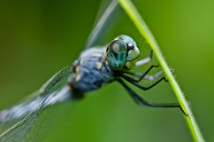 Dragonfly  in green nature Stock Photography