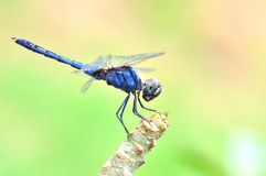 Dragonfly. In green nature , thailand Stock Photo