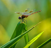 Dragonfly On Green Palm Royalty Free Stock Photo