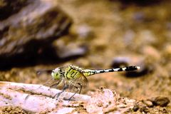 Dragonfly. Green dragonfly sitting on a rock Royalty Free Stock Photos