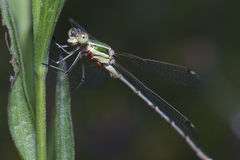 Dragonfly on a green stalk. Royalty Free Stock Photo