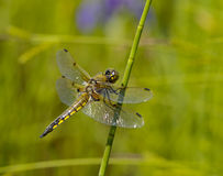 Dragonfly on a green stalk Stock Image