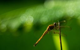 Dragonfly, greenish background, bubble bokeh royalty free stock photo