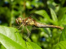 Dragonfly greeting Royalty Free Stock Image