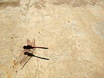 Dragonfly Grunge 1. Close-up of a red dragonfly on a grungy background Royalty Free Stock Photos