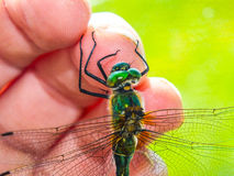 Dragonfly on hand Royalty Free Stock Photography
