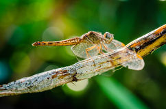 Dragonfly. Hanging on branch and bokeh background Stock Photography