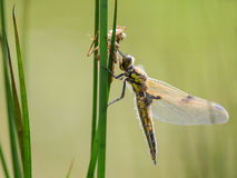 Dragonfly hanging its wings to dry between the grass with its ol Royalty Free Stock Photography