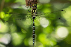 Dragonfly hanging on a stick Royalty Free Stock Photo