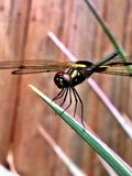 Dragonfly hatchling Stock Images