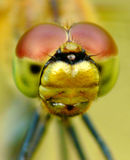 Dragonfly head Royalty Free Stock Images