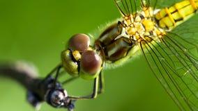 Dragonfly head Royalty Free Stock Photo
