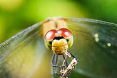 Dragonfly. Head dragonfly. Blurred natural background, close-up, macro Royalty Free Stock Photography