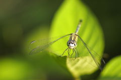 Dragonfly. Head dragonfly. Blurred natural background close-up macro Stock Photography
