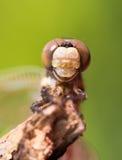 Dragonfly head close up Stock Photo
