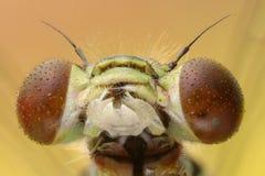 Dragonfly head extreme macro Royalty Free Stock Photo