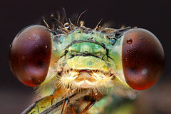 Dragonfly head extreme macro Royalty Free Stock Photography