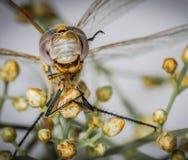 Dragonfly head macro closeup and small flowers Stock Photos