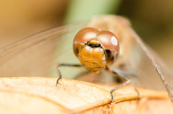 Dragonfly Head Portrait Royalty Free Stock Photos