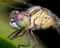 Dragonfly head shot Royalty Free Stock Photos