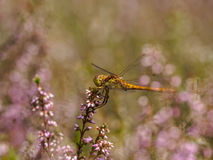 Dragonfly in between heath Stock Image