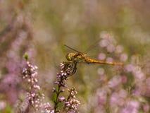 Dragonfly in between heath Stock Image