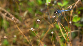 Dragonfly held on the tree branch Royalty Free Stock Image
