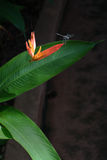 Dragonfly with Heliconia Psittacorum Royalty Free Stock Image