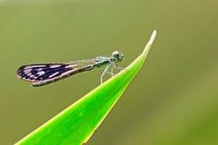 Dragonfly, Heliocypha perforata & H. biforata Royalty Free Stock Photo