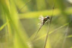 Dragonfly hiding in the reeds Royalty Free Stock Images