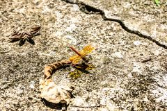 Dragonfly hold dry leaves on the road surface.  Royalty Free Stock Image