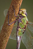 Dragonfly holding cattail Royalty Free Stock Images