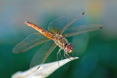 Dragonfly holding leaf. Dragonfly resisting the wind by holding leaf Royalty Free Stock Images