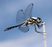 Dragonfly. A dragonfly holding on to a tree top Stock Image