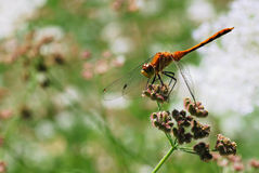A Dragonfly Holds Tightly to a Flower During Windy Conditions Royalty Free Stock Photo