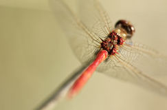 Dragonfly horsepower behind the wings.  Stock Image