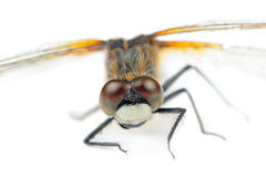 Dragonfly with Huge Multifaceted Eyes Macro Isolated on White Background Royalty Free Stock Photos